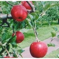 福士さんのりんご特選サンジョナゴールド5kg(送料無料)(青森県産)(特別栽培)_s25