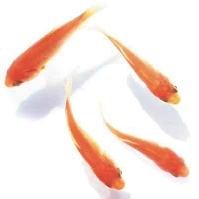 金魚すくい用金魚 イベントパック 300匹【6月〜8月限定】