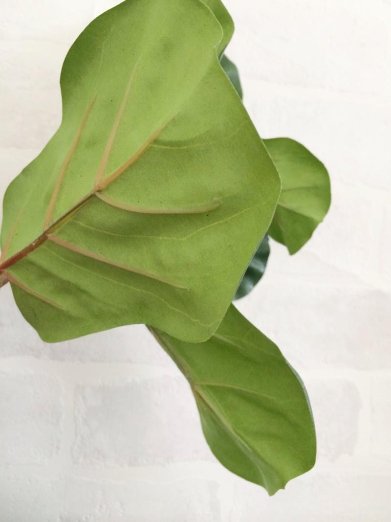 カシワバゴムの木L