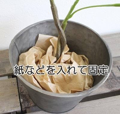 パキラ(ねじねじ幹)