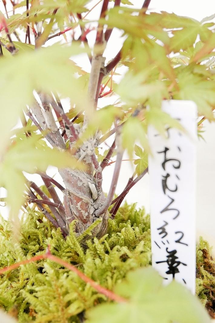 【2020年父の日 特別価格】京都小鉢(ミニ盆栽) 京紅葉シリーズ 小サイズ 信楽焼き(信楽焼アソート陶器)
