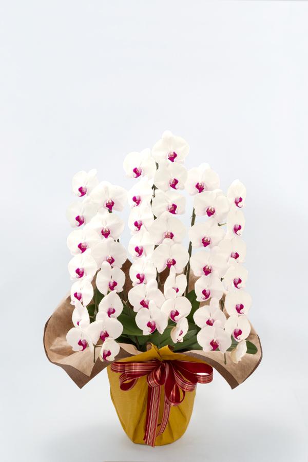 【産地直送】京都 はんなり胡蝶蘭(紅白大輪) 3本立 竹