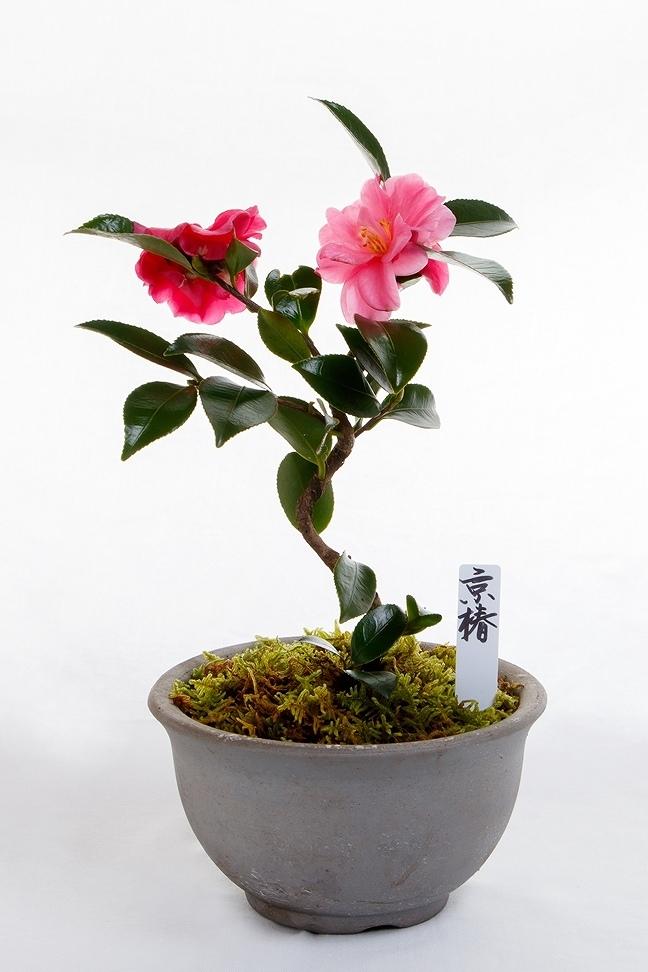 京都小鉢(ミニ盆栽)京椿 (信楽焼き)