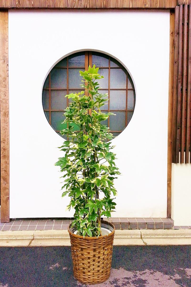 観葉植物 ファトスヘデラ タワー仕立て(鉢カバー付)