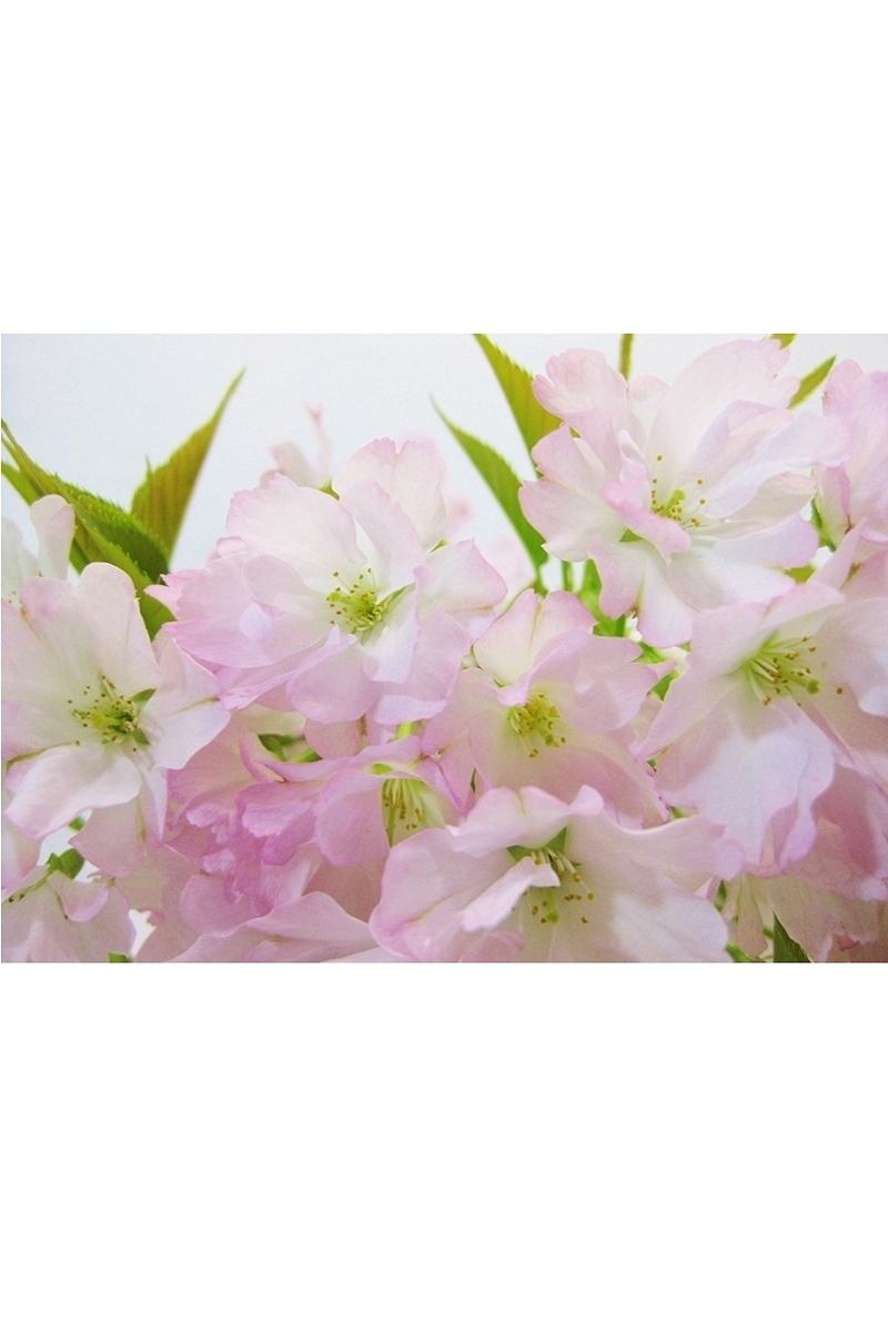 【2021年販売開始】 数量限定 京都小鉢(ミニ盆栽)京桜シリーズ 御車返し桜(みくるまがえし)
