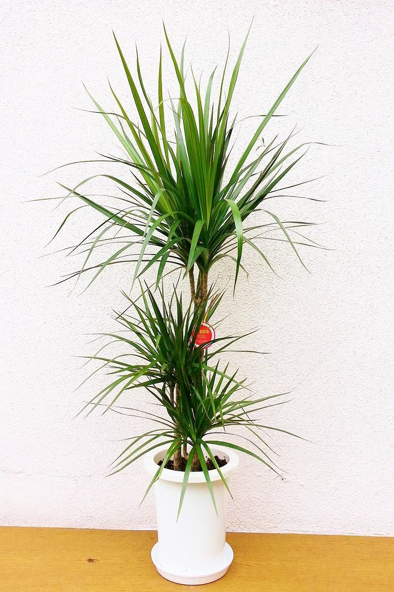 観葉植物 ドラセナ マジェンタ