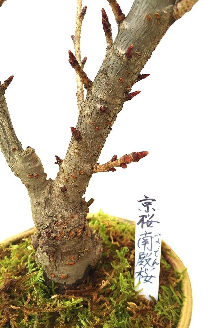 残りわずか 【数量限定 2021年販売開始】 京都小鉢(ミニ盆栽)京桜シリーズ 南殿桜(なでん)