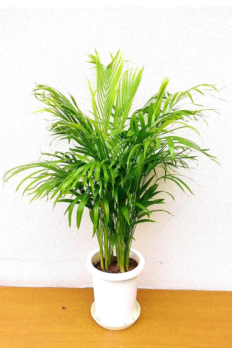 観葉植物 アレカ椰子