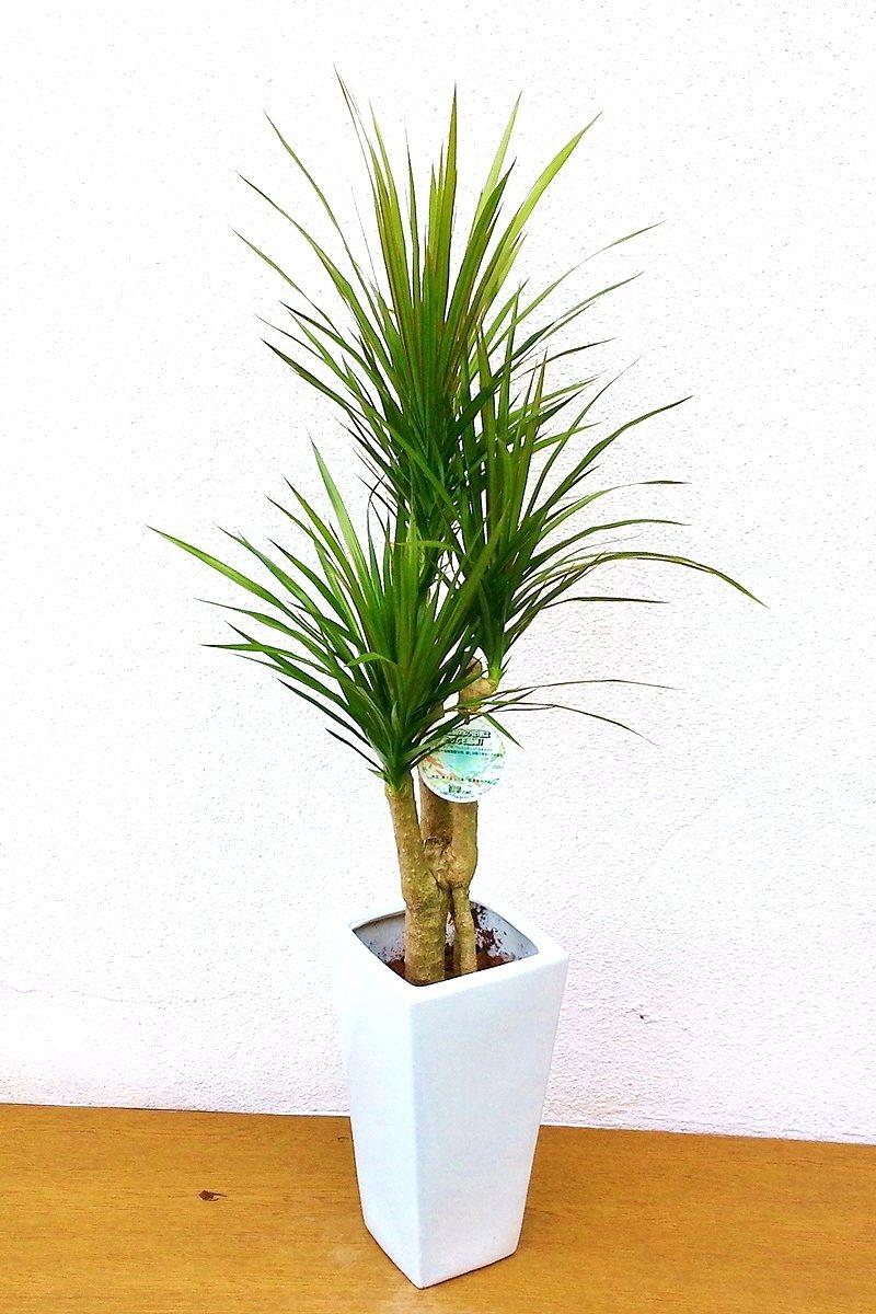 観葉植物 ドラセナ コンシンネ(白陶器)