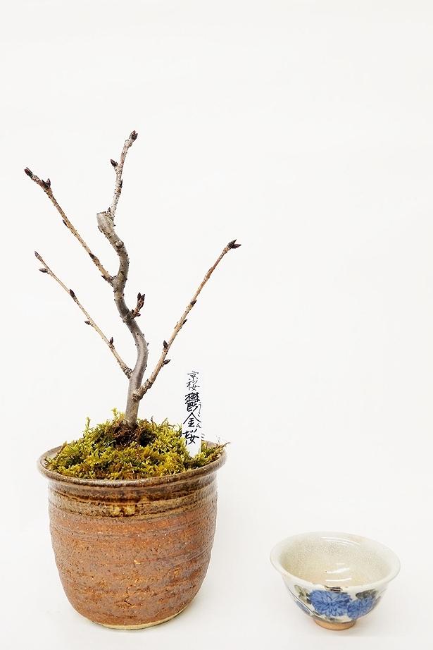 【数量限定 2021年販売開始】 京都小鉢(ミニ盆栽)京桜シリーズ 鬱金桜(うこん) 樹齢8年以上