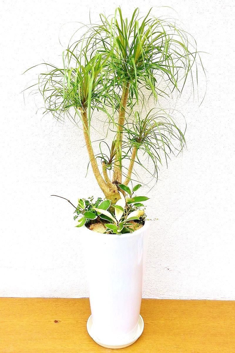 観葉植物 ポニーテール 寄せ植え(白陶器付)