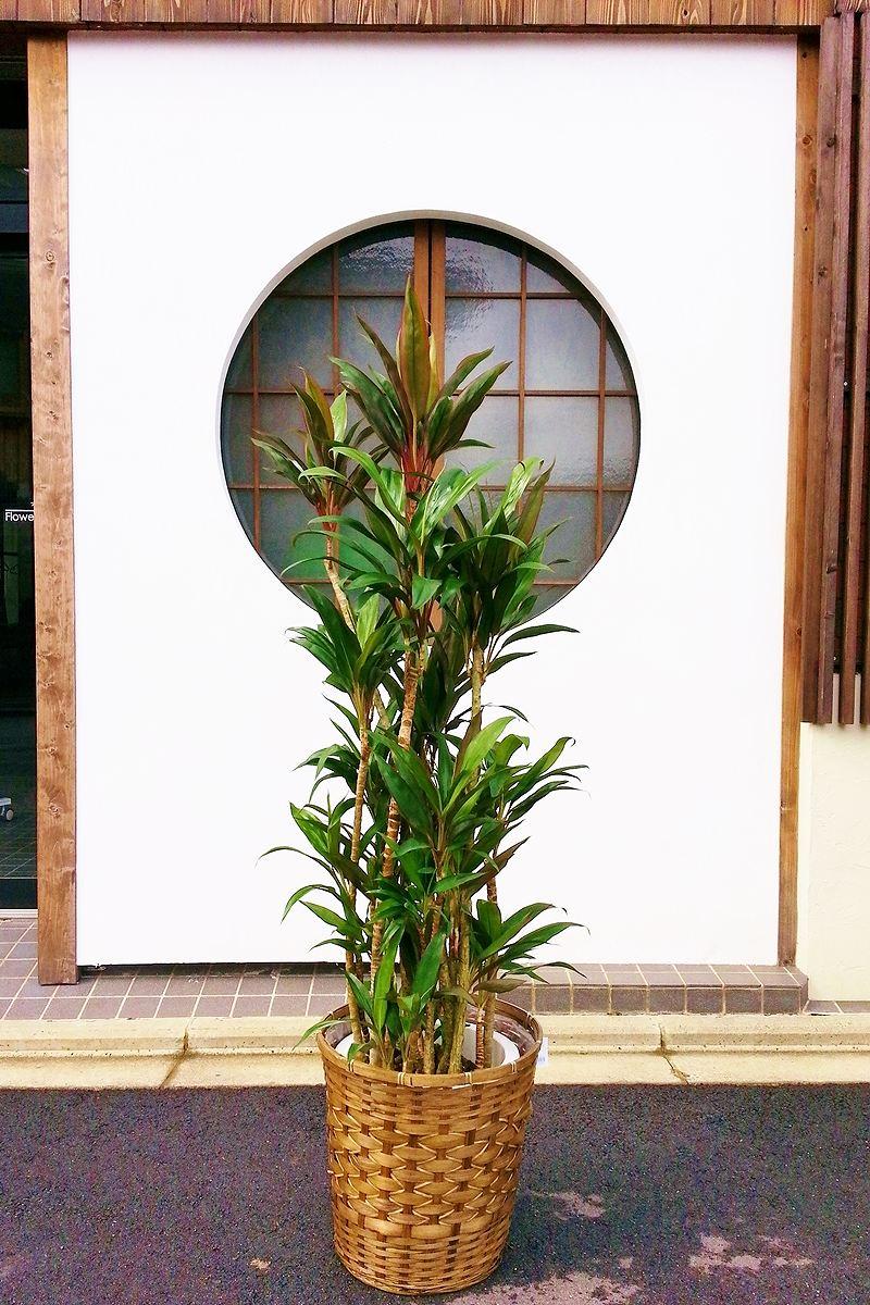 観葉植物 ドラセナ コルジリネ 赤(鉢カバー付)