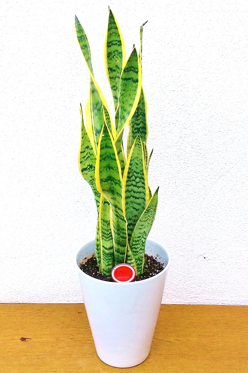 観葉植物 サンセベリア(白陶器)