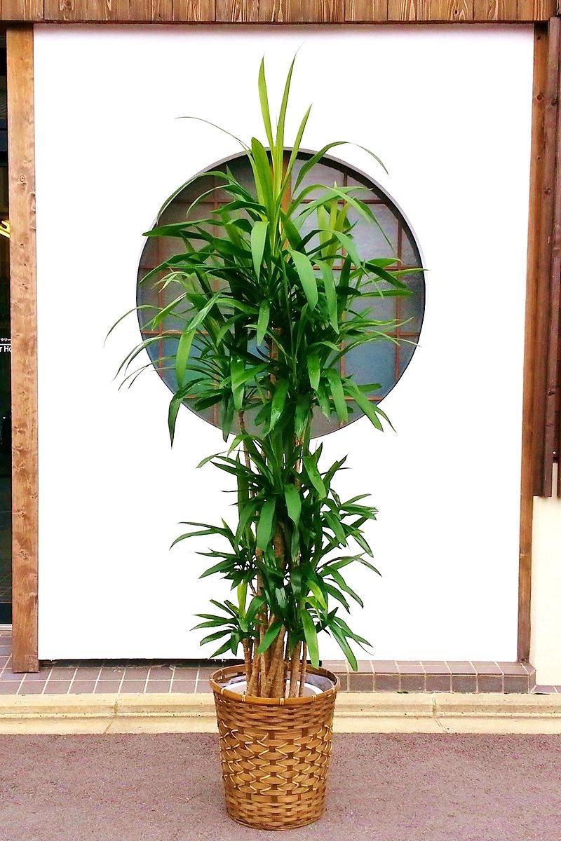 観葉植物 ドラセナ コルジリネ 青ドラセナ(鉢カバー付)