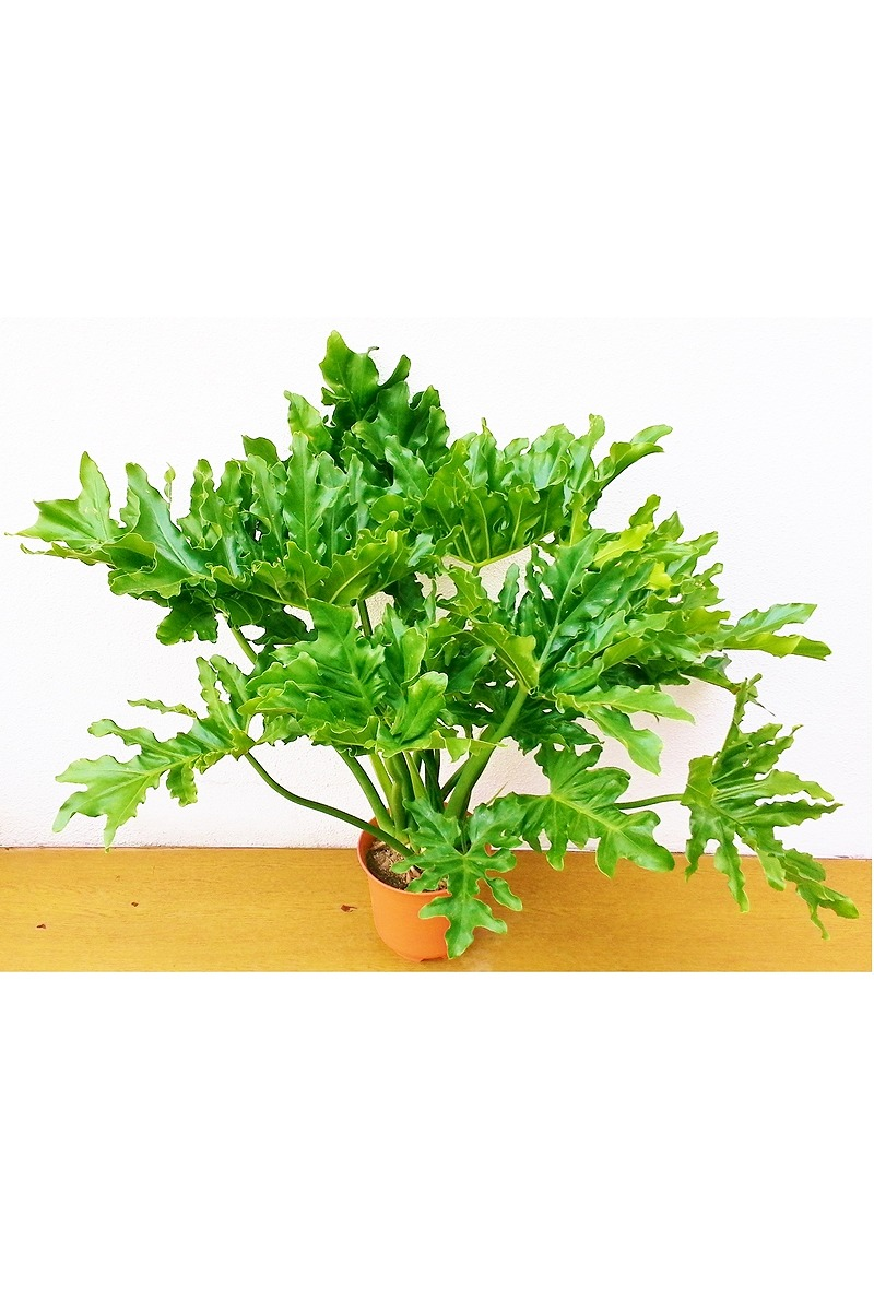 観葉植物 セロウム