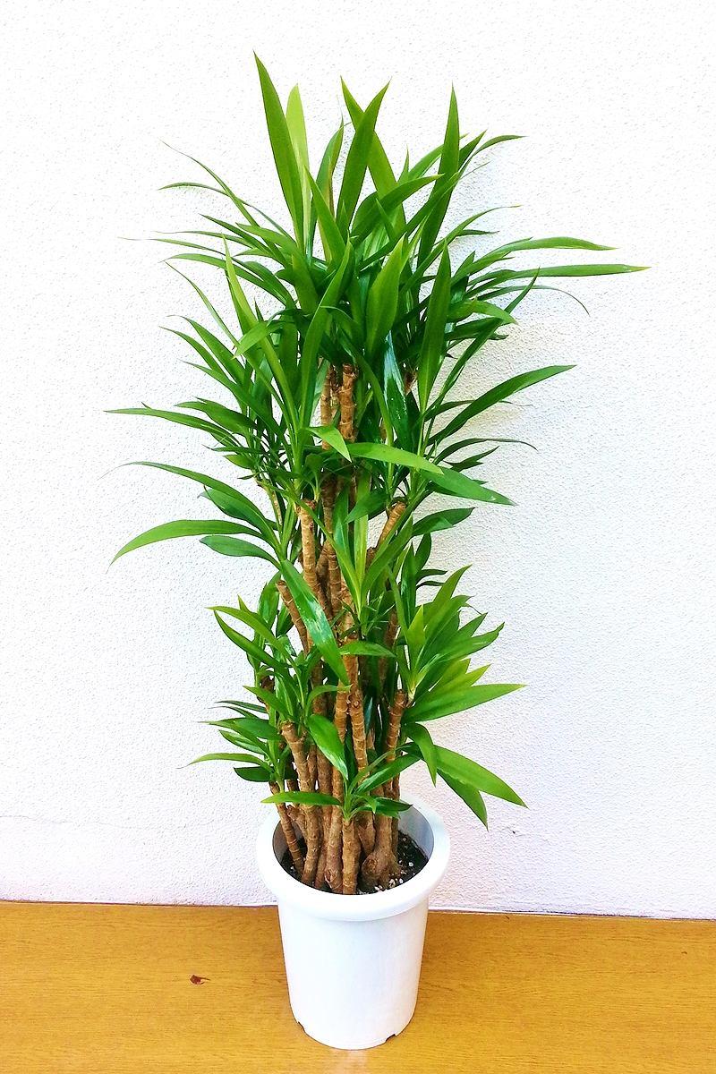 観葉植物 ドラセナ コルジリネ 青ドラセナ