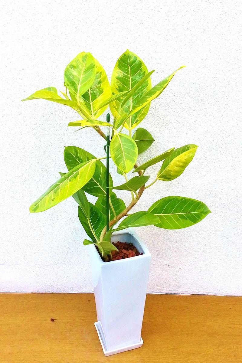 観葉植物 フィカスアルティシマ曲がり(白陶器)