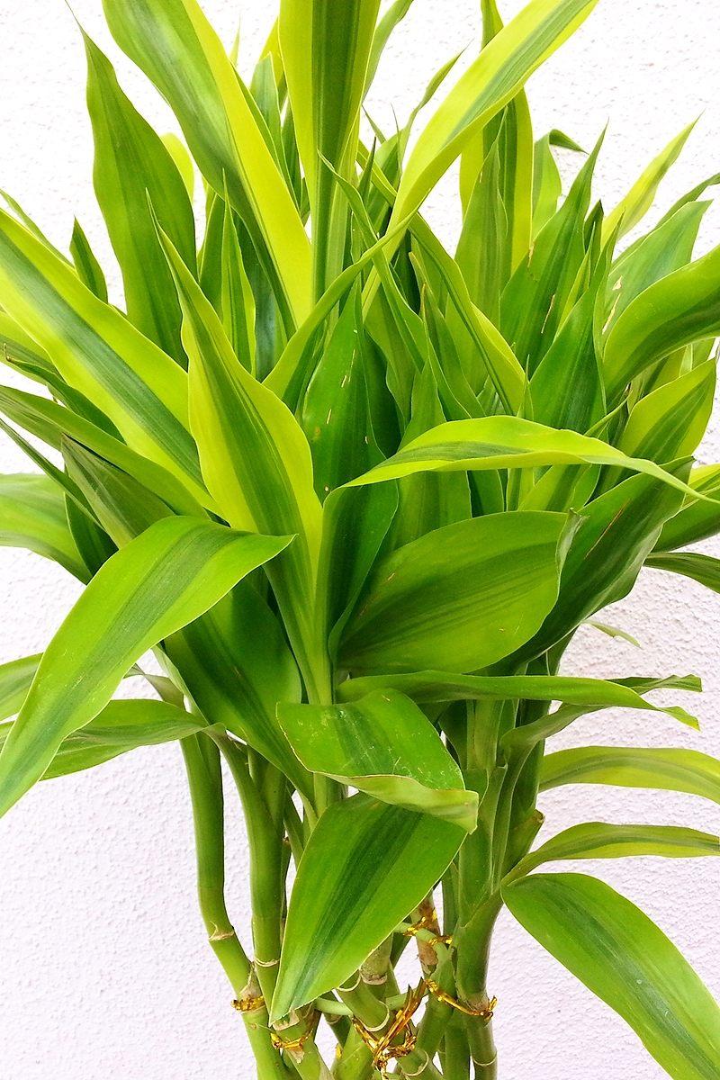 観葉植物 サンデリアーナ・ゴールド