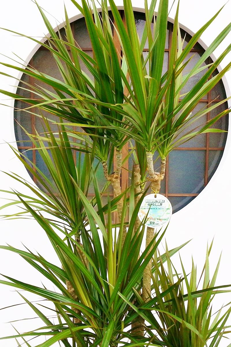 観葉植物 ドラセナ コンシンネ(鉢カバー付)