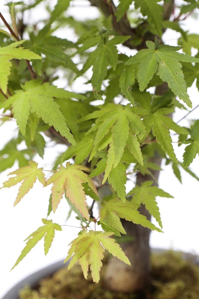 【2021年数量限定販売】 京都小鉢(ミニ盆栽) 京紅葉 京おむろ紅葉 樹齢7年以上(信楽焼アソート陶器)