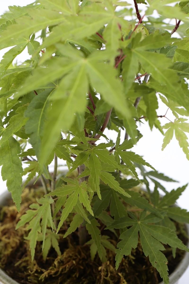 京都小鉢(ミニ盆栽) 京紅葉シリーズ 清水(寄植え)