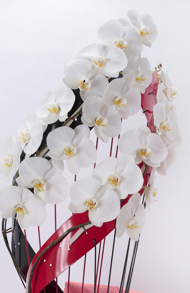 【産地直送】変わり胡蝶蘭 ななめ型 2本立