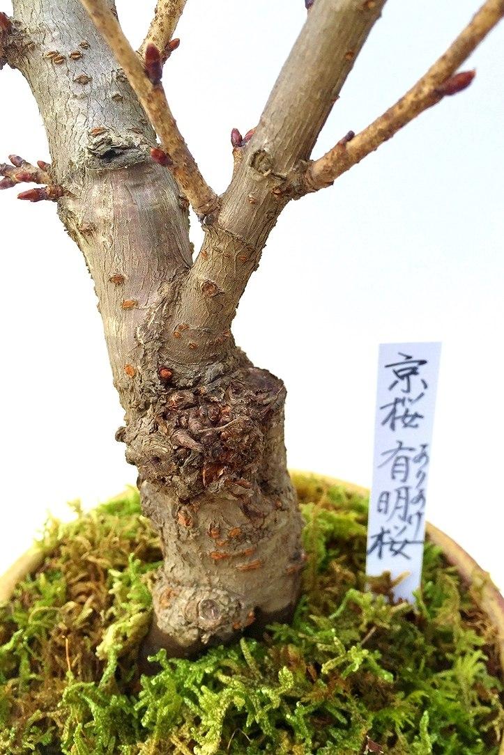 【数量限定 2021年販売開始】 京都小鉢(ミニ盆栽)京桜シリーズ 有明桜(ありあけ)