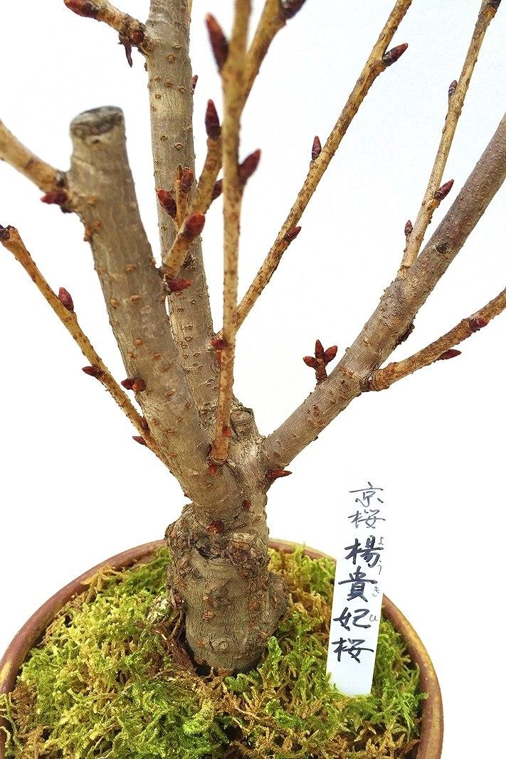 【数量限定 2021年販売開始】 京都小鉢(ミニ盆栽)京桜シリーズ 楊貴妃桜(ようきひ)