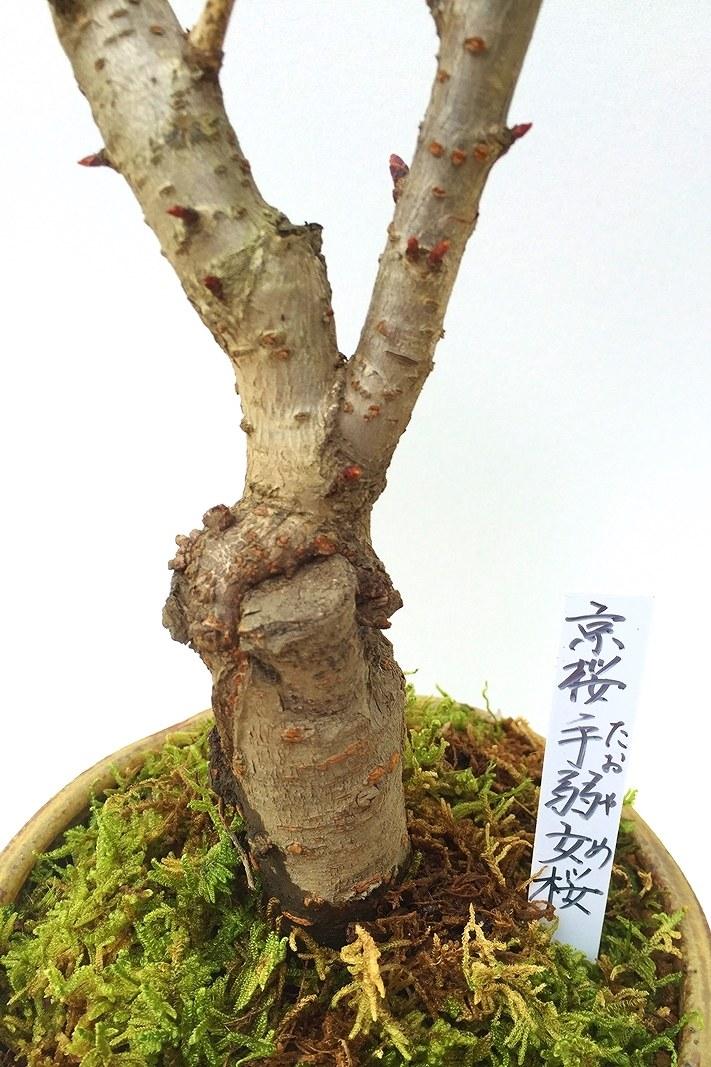 【数量限定 2021年販売開始】 京都小鉢(ミニ盆栽)京桜シリーズ 手弱女桜(たおやめ)