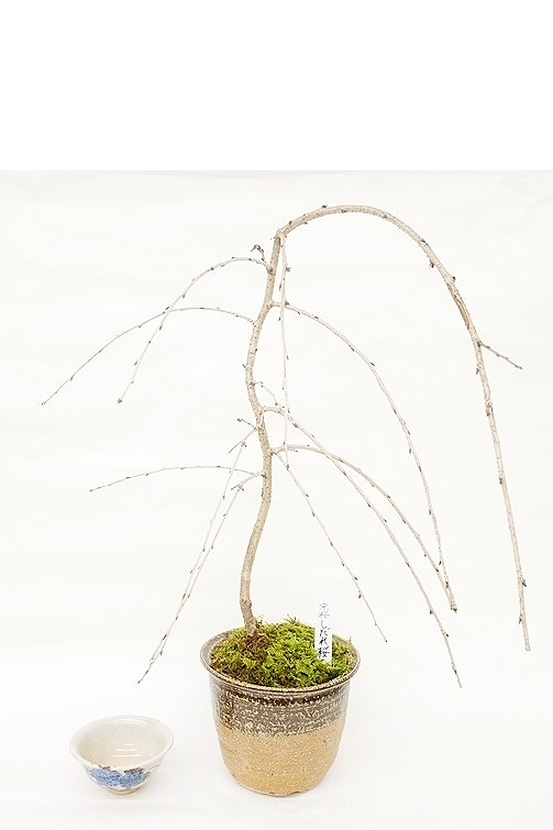【2020年販売開始】 数量限定 京都小鉢(ミニ盆栽)京桜シリーズ しだれ桜(信楽焼き)