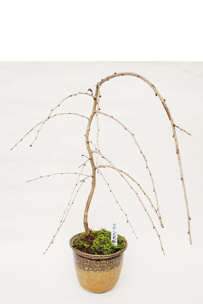 残りわずか 【数量限定 2021年販売開始】 京都小鉢(ミニ盆栽)京桜シリーズ しだれ桜 樹齢8年以上