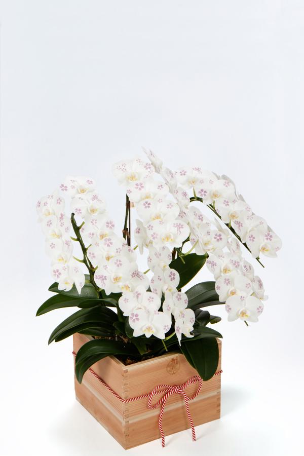 【産地直送】京都 手染めミニ胡蝶蘭(ミディ) 特選升(京都 北山杉使用)5本立