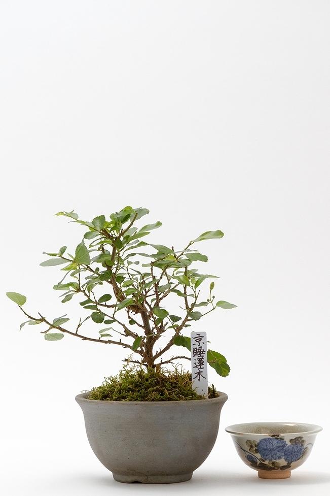 京都小鉢(ミニ盆栽) 京睡蓮木 信楽焼き陶器
