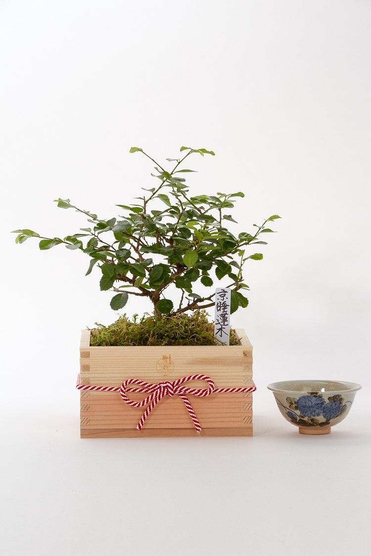 京都小鉢(ミニ盆栽) 京睡蓮木 特選升(京都 北山杉使用)