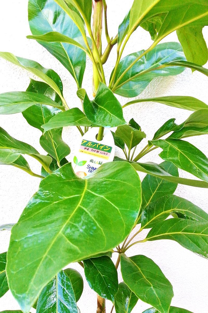 観葉植物 シェフレラアルパイン(白陶器)