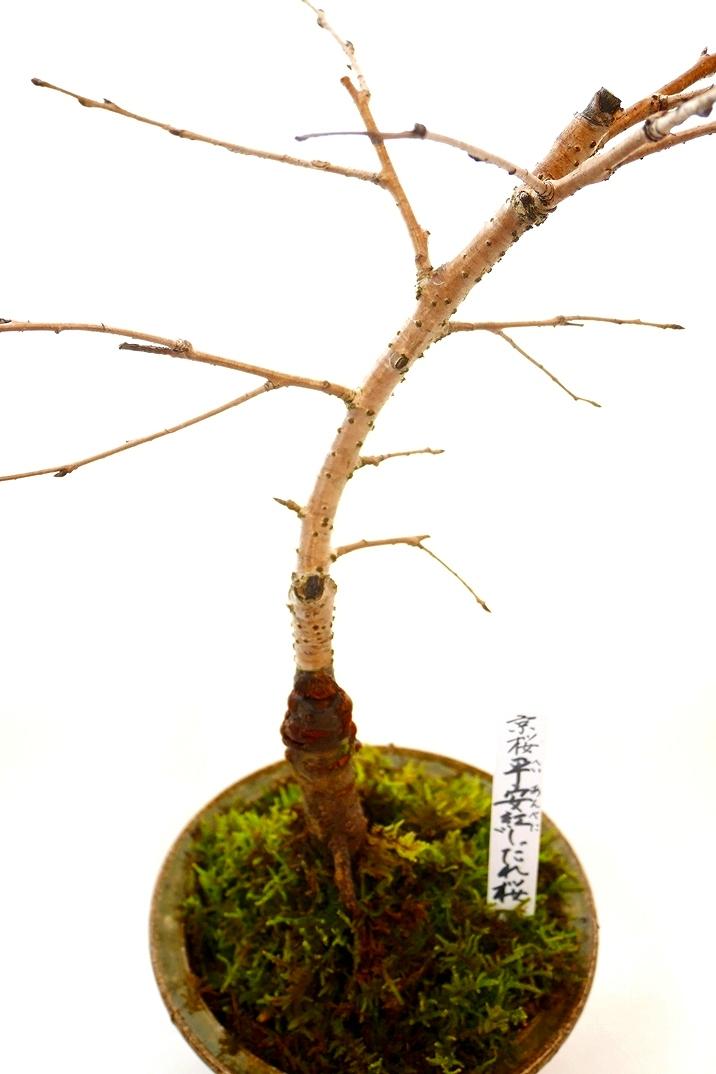 【数量限定 2021年販売開始】 京都小鉢(ミニ盆栽)京桜シリーズ 平安紅しだれ桜(信楽焼き)