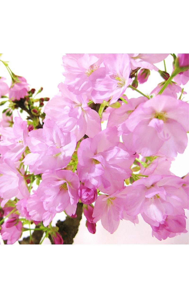 【2021年販売開始】 京都小鉢(ミニ盆栽) 京桜シリーズ おむろ盆桜 3本立(信楽焼) 苔付