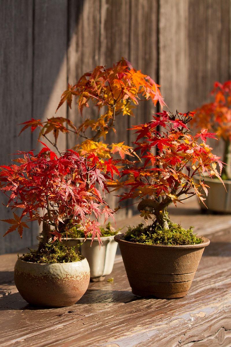 京都小鉢(ミニ盆栽) 京おむろ紅葉 ネジリ仕立て 信楽焼き(信楽焼アソート陶器)