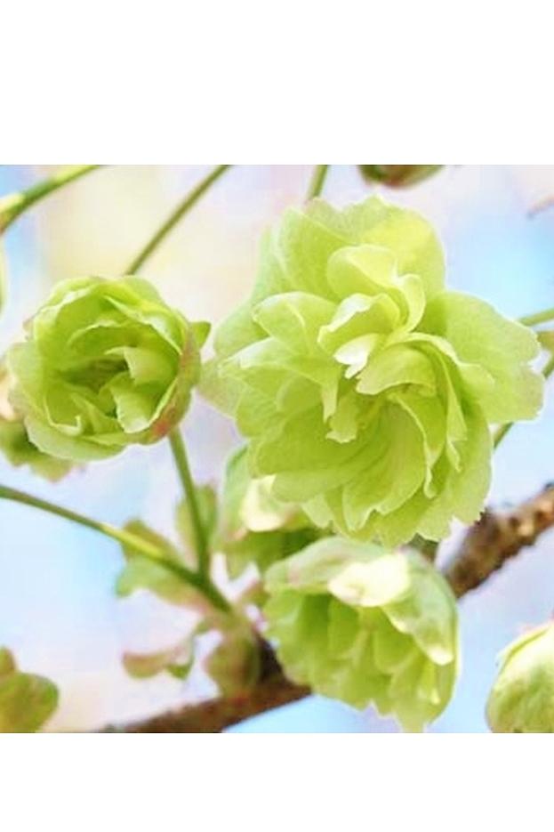 【数量限定 2021年販売開始】 京都小鉢(ミニ盆栽)京桜シリーズ 御衣黄桜(ぎょいこう)