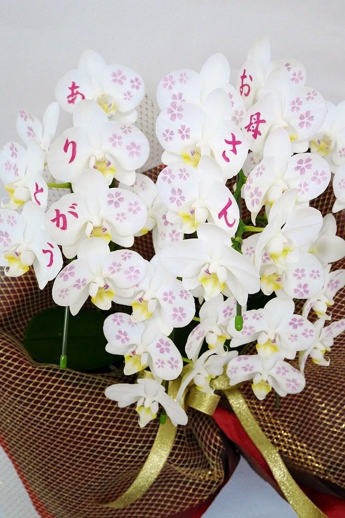 【2021年母の日 2鉢限定】 京都 手染めミニ胡蝶蘭(ミディ)5本立
