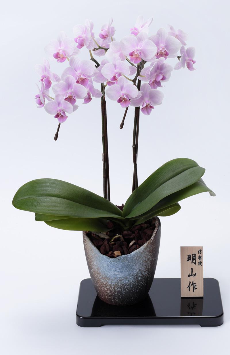 【2020年父の日 特別価格】 京都 ミニ胡蝶蘭 信楽焼き 2本立