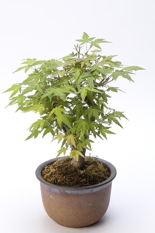 京都小鉢(ミニ盆栽) 京紅葉 京おむろ紅葉 樹齢7年以上(信楽焼アソート陶器)