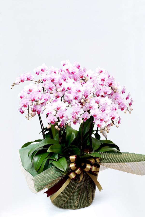 【産地直送】京都 お誂え胡蝶蘭 京都 ミニ胡蝶蘭(ミディ) 10本立