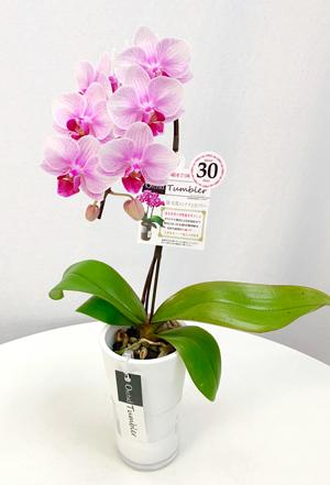 【2020年母の日】ミニ胡蝶蘭(ミディ)  タンブラー 薄ピンク 1本立
