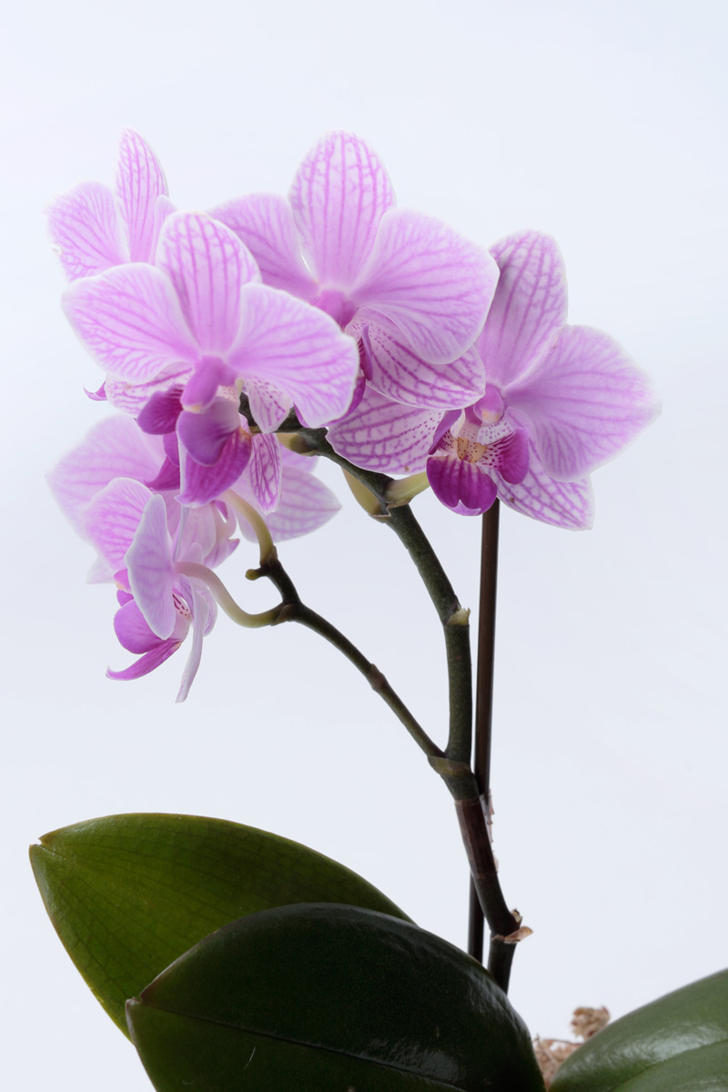 【2020年母の日】ミニ胡蝶蘭(ミディ)  タンブラー 紫ピンク 1本立