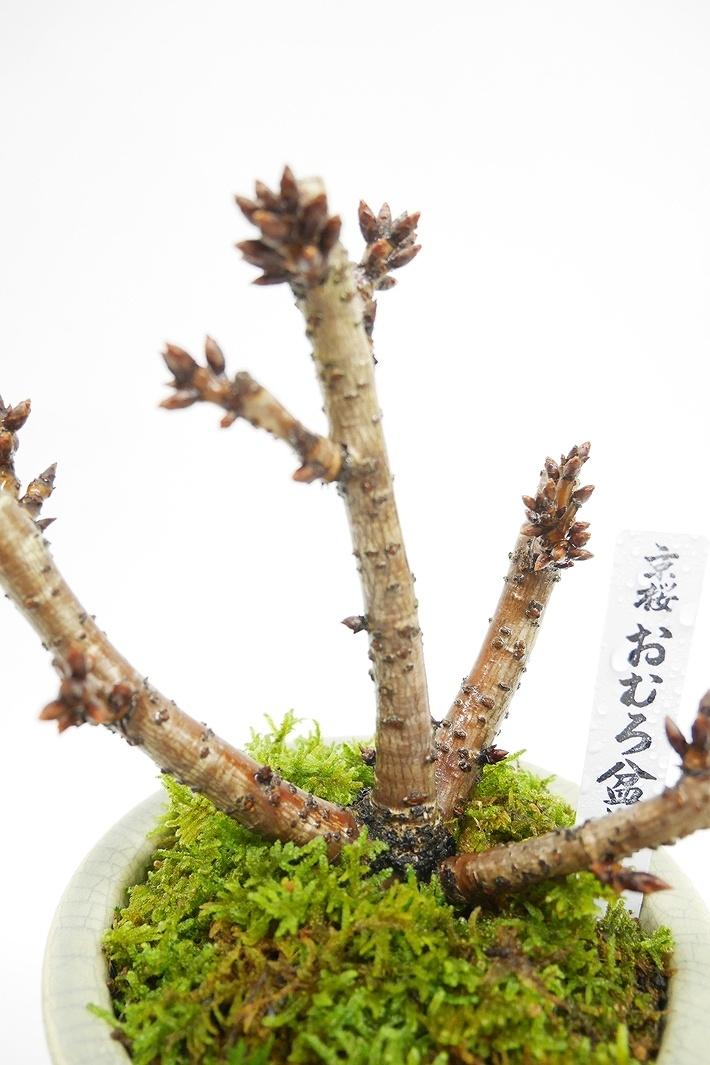 【2021年販売開始】 京都小鉢(ミニ盆栽) 京桜シリーズ おむろ盆桜 1本立(信楽焼アソート陶器)