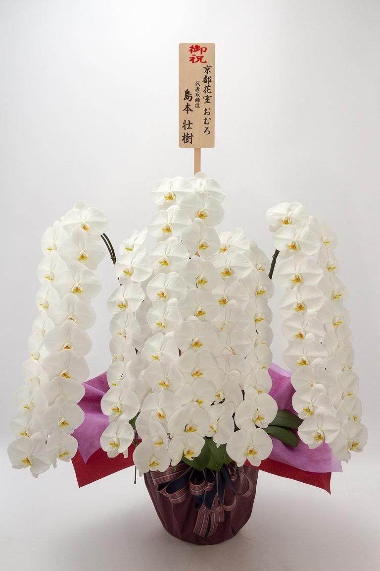 野間様専用 【産地直送】京都 はんなり胡蝶蘭(白大輪) 5本立 松