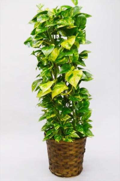 京都 観葉植物 ポトス(中型サイズ)