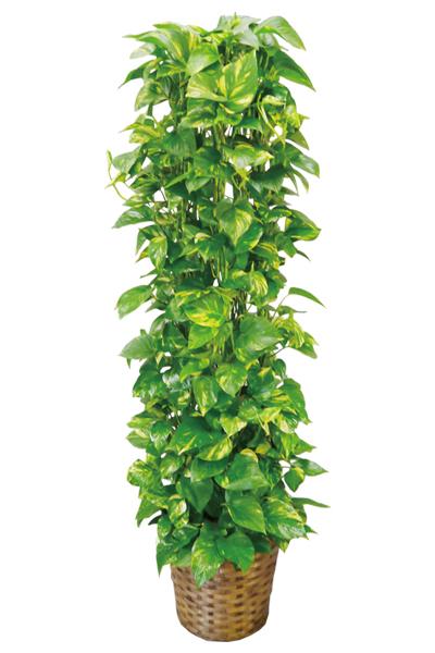 京都 観葉植物 ポトス(大型サイズ)