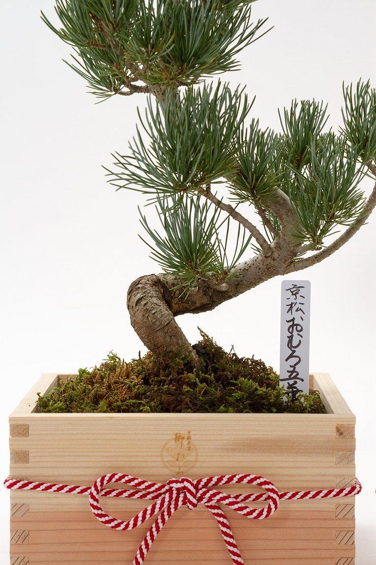 数量限定 京都小鉢(ミニ盆栽) 京松 京都特選升 (京都北山杉使用)
